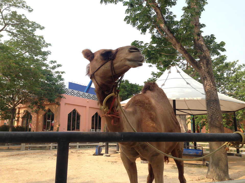 phetchaburi_camelrepublic16